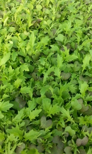 Spicy Greens Microgreen Mix