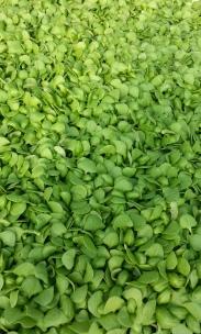 Basil Microgreens