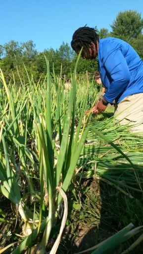 Harvesting a favorite onion- the walla walla!